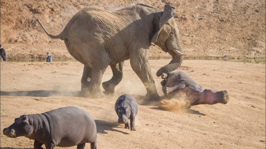 Elephant Vs. Hippo: Extremely Rare Images Show Attack ...