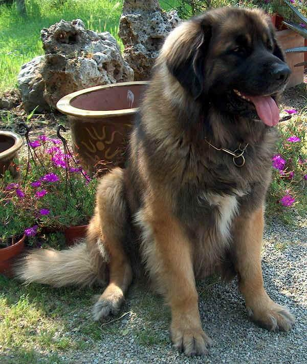 https://images.dog.ceo/breeds/leonberg/n02111129_844.jpg