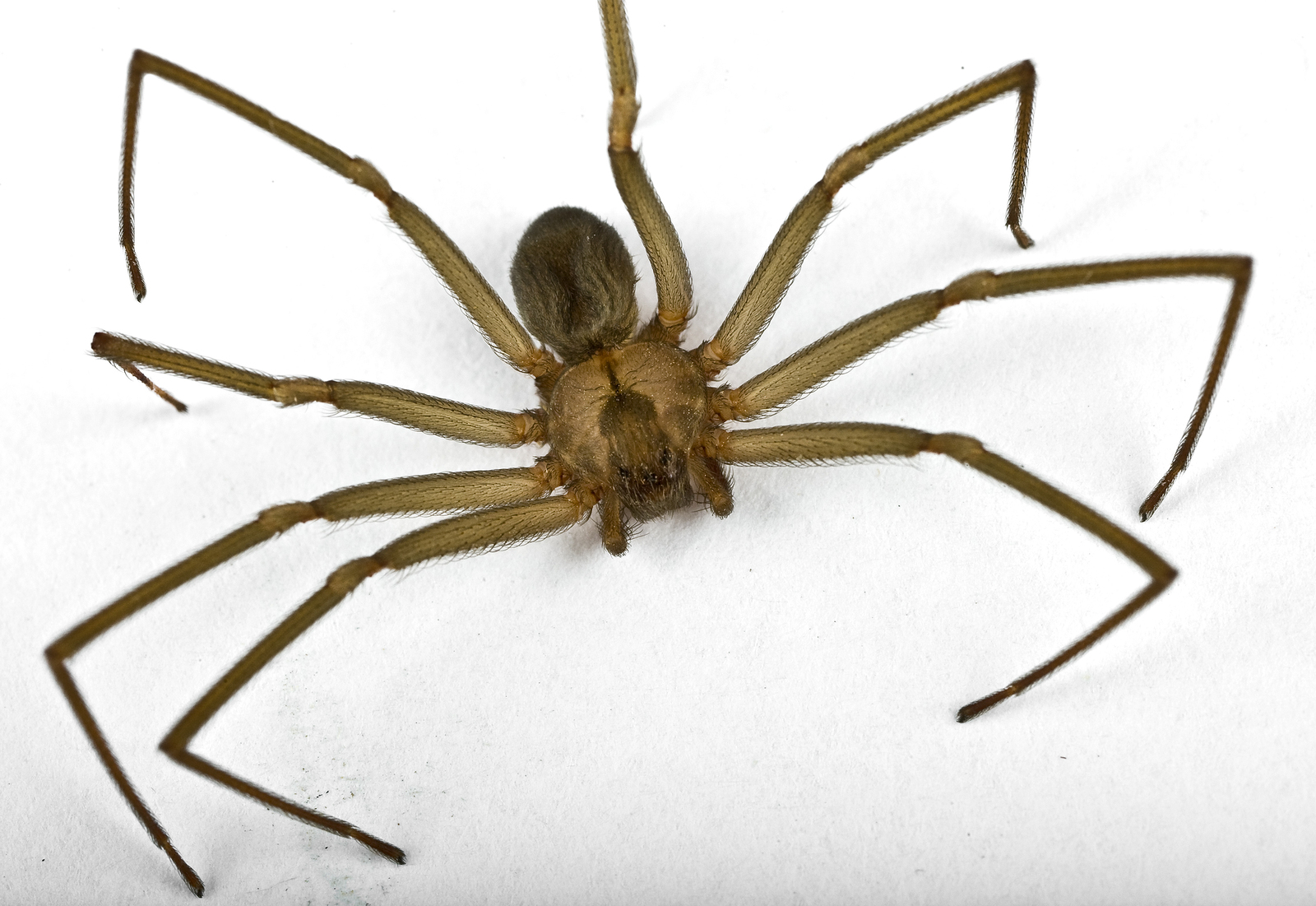 Brown Recluse Pictures Image Gallery - m