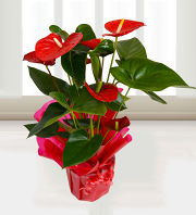 Anthurium Attraction
