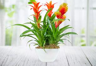 Bromelia Plant