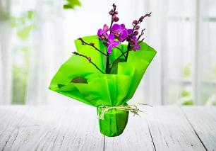 Delightful Phalaenopsis Orchid