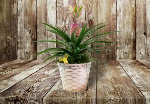 Summer Pineapple Plant