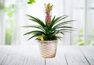 Summer Pineapple Plant