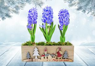 Christmas Hyacinth's