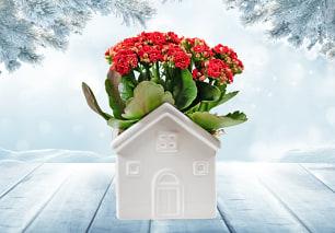 Christmas Kalanchoe House