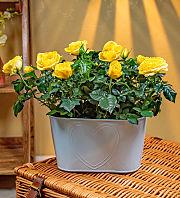 Sunshine Rose Duo