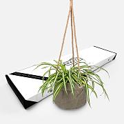 Hanging Chlorophytum