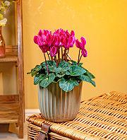 Fuchsia Cyclamen