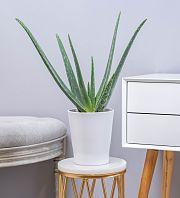Aloe Vera Plant