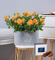 Decadent Rose Plant