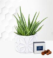 Geometric Aloe Vera Plant