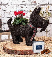 Scottie Dog Cyclamen