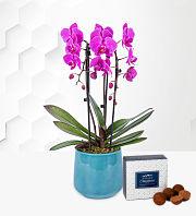 Cascade Orchid in Blue Pot