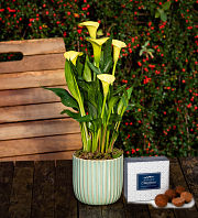 Spring Calla Lily