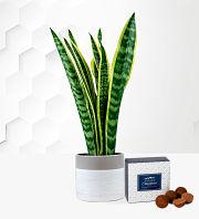 Sensational Snake Plant