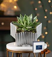 Christmas Star Succulent