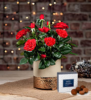 Christmas Red Rose Plant