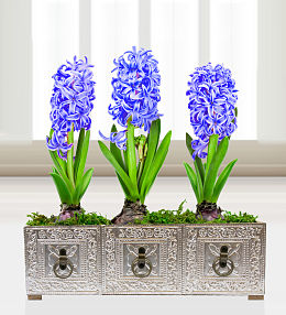 Hyacinths in Harmony