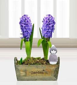 Festive Hyacinths