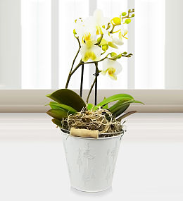 Winter Orchid