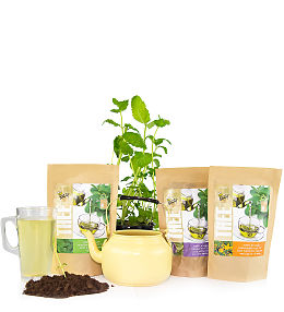 Grow Your Own Tea