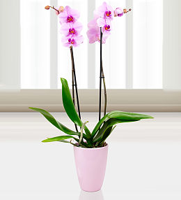 Phalaenopsis Washington