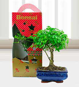 Christmas Bonsai