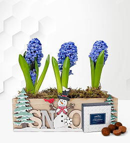Holiday Hyacinths