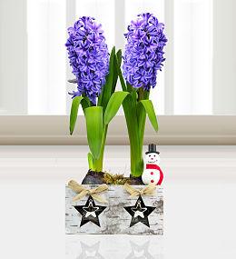 Festive Hyacinth Duo