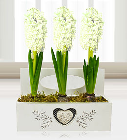 Christmas Hyacinth Trio