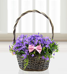 Mother's Day Campanula