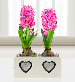 Mother's Day Hyacinths
