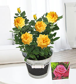 Contemporary Rose Plant