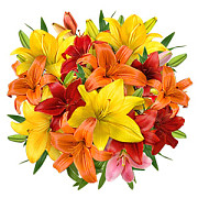 Hungarian Lilies