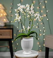 Luxury Christmas White Orchid
