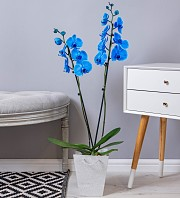 Sapphire Orchid