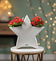 Christmas Kalanchoe Star