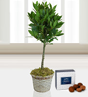 Beautiful Bay Tree