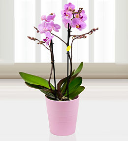 Twin Phalaenopsis Orchids