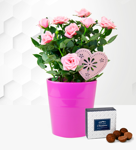 Classic Mother's Day Rose - Mother's Day Plants - Mother's Day Plant Gifts - Pink Rose Plant