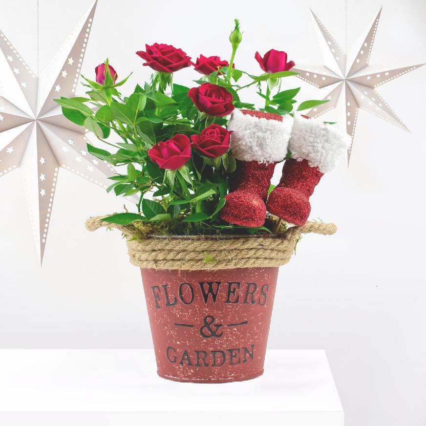 Santa's Favourite Roses