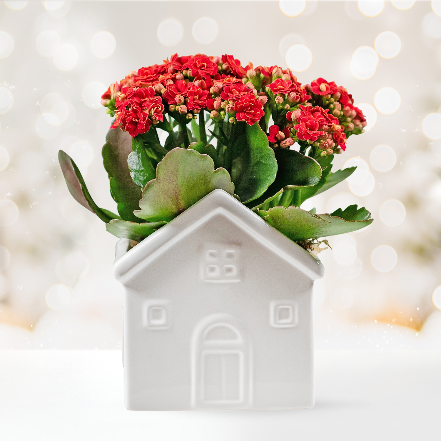 Holiday Kalanchoe House