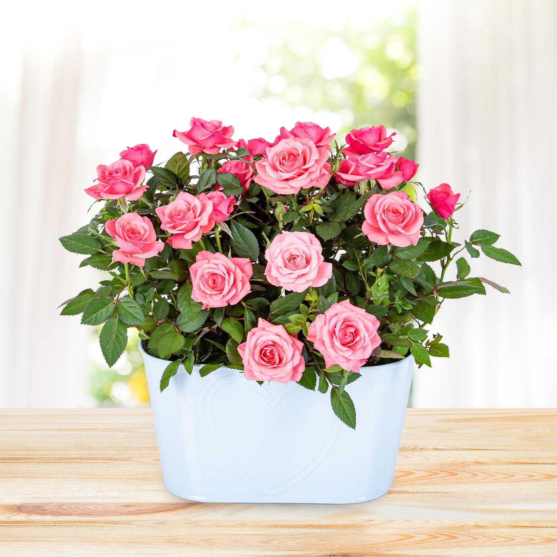 Rose Duo Planter