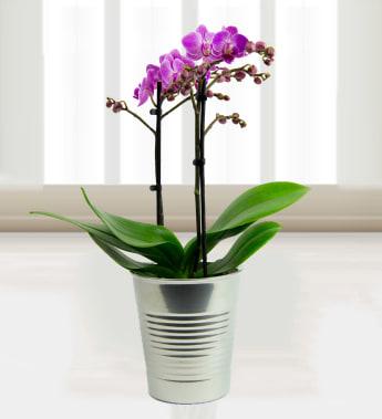 Phalaenopsis Orchids » Plants £24.99 | FREE Chocolates | Prestige Flowers