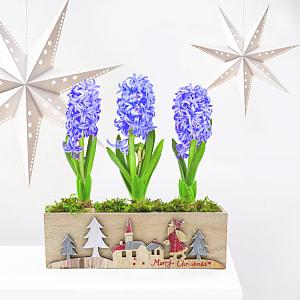 Hyacinth in festive box
