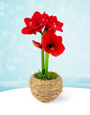 Festive Amaryllis