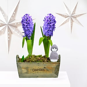 Hyacinth Gift