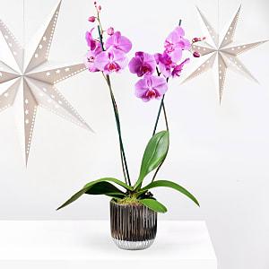 Festive Purple Orchid