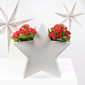 Festive Kalanchoe Star